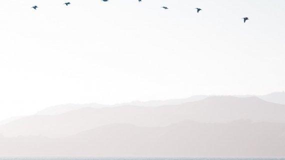 Fugle i flok