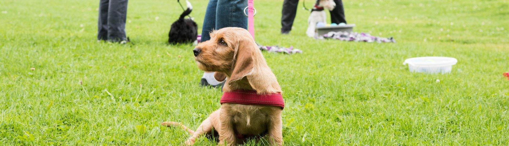 Hund til hundetræning